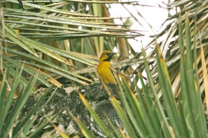 hooded-oriole11img_2503