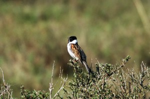 reed-bunting123
