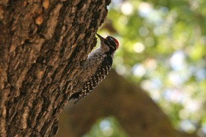 Nuttall's Woodpecker_Palo Alto,Stanford