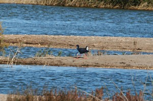 IMG_6264Purple-Swamphen555