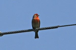 House Finch1