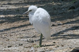 snowy-egret6