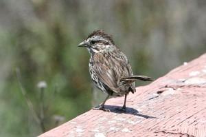 song-sparrow2[1]