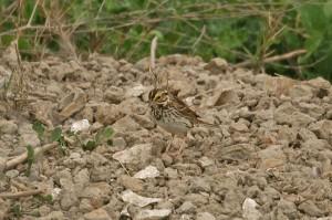 savannah-sparrow1