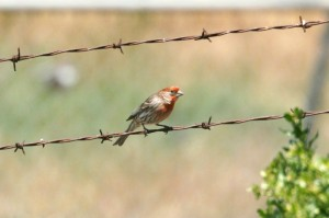 House Finch8