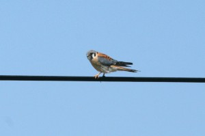 IMG_2351am.kestrel2