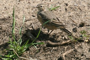 american-pipit1[1]