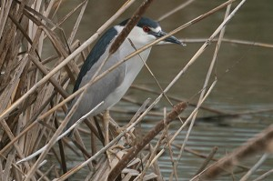 black-crowned-night-heron1
