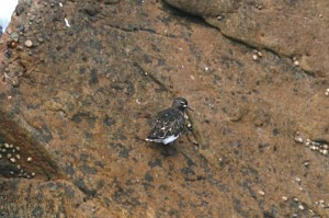 black-turnstone123
