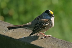 golden-crowned-sparrow1