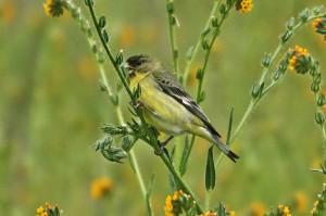 lesser-goldfinch1
